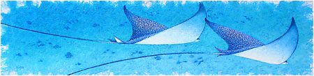 Ballet<br>Spotted Eagle Rays<br>(Eleuthera, Bahamas)